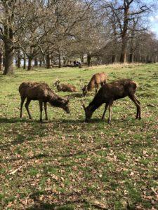 Grazing deer at Richmond Park